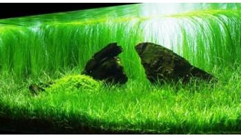 Элеохарс парвула - натуральный газон в аквариуме