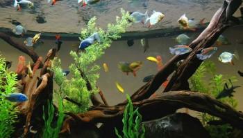 Как выбрать и подготовить корягу для аквариума